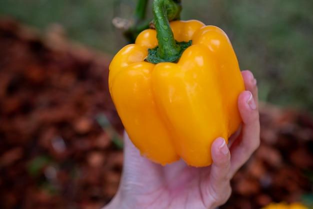 O close up das mãos do fazendeiro colhe uma pimenta de bell no jardim. mãos de agricultores com pimentão fresco.
