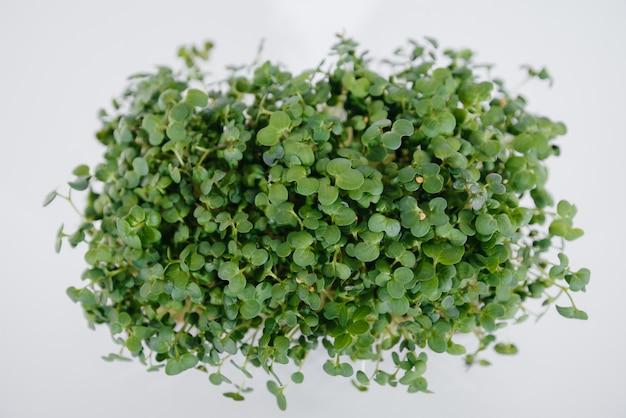 O close-up de brotos de mostarda micro-verde em uma superfície branca em um pote com solo. alimentação e estilo de vida saudáveis.