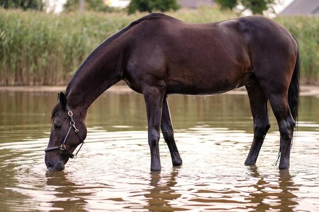 O close-up de um cavalo escuro bebe a água de um lago. passeio a cavalo