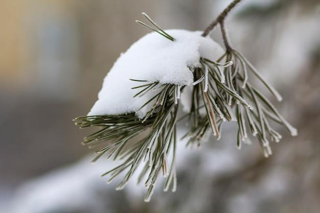 O close-up disparou de ramos do abeto com as agulhas verdes cobertas com a neve limpa fresca profunda no espaço ao ar livre azul borrado da cópia