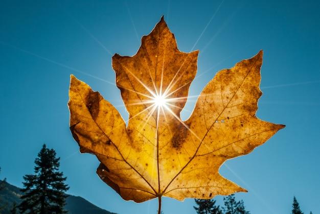 O close up disparou de uma folha de bordo seca amarela sustentada com os raios do sol que brilham através