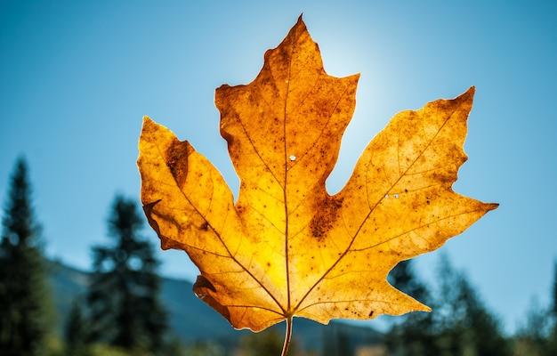 O close up disparou de uma folha de bordo seca amarela sustentada e céu azul em um dia ensolarado