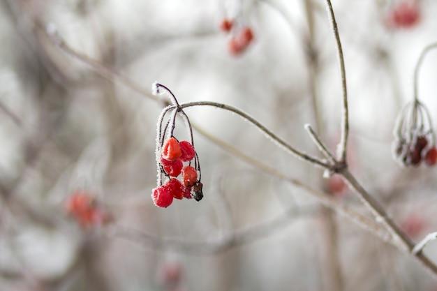 O close-up do grupo congelado seco das bagas vermelhas maduras brilhantes da guelder-rosa cobertas com a primeira neve branca profunda e a geada que penduram na luz ensolarada enevoada borrada fora copiam o fundo do espaço.