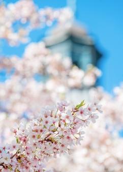 O close up do ramo das flores brancas floresce contra a câmara municipal e o dia azul do céu na primavera