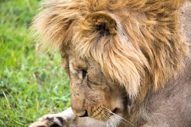 O close-up do rosto de um leão na savana do quênia