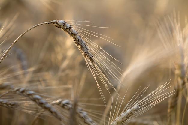 O close-up do trigo focalizado maduro amarelo dourado dourado morno dirige no dia de verão ensolarado na luz nevoenta borrada macia do campo de trigo do prado - fundo marrom. agricultura, agricultura e conceito de colheita rica.
