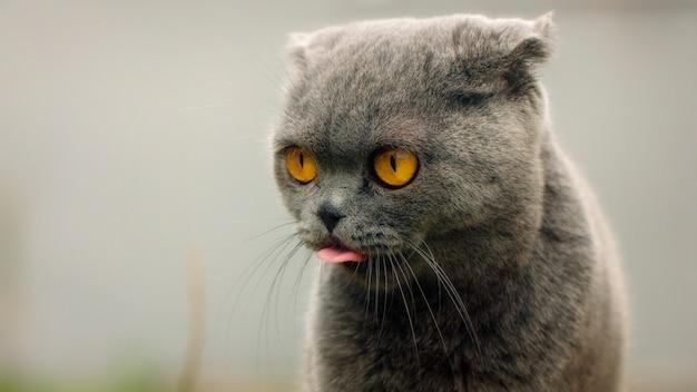 O close up, inglês dobra o gato cinzento com olhos amarelos, mostra a língua.