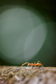O close-up macro da formiga vermelha do tecelão na árvore.