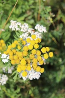 O close up tirou fotos de flores amarelas tansy com branco e verde