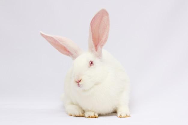 O coelho com um fundo branco