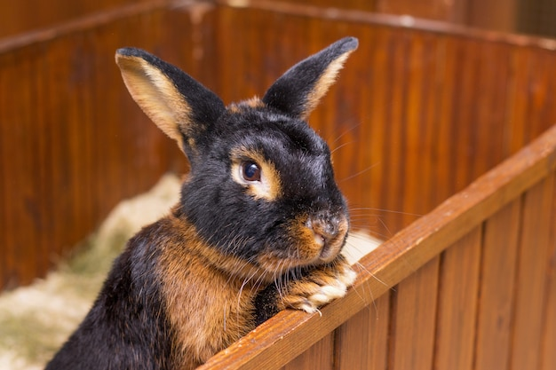 O coelho da raça black-fire (bronzeado) olha para fora da gaiola_