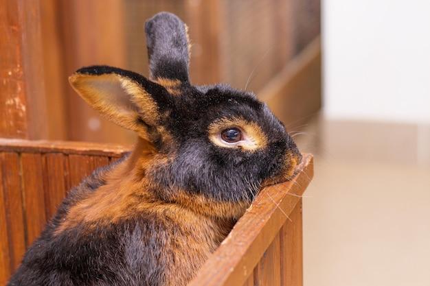 O coelho da raça black-fire (bronzeado) olha para fora da gaiola