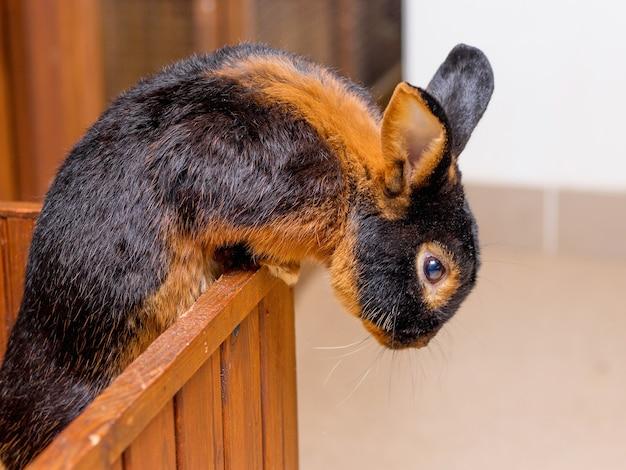 O coelho da raça black-fire (tan) quer pular para fora da gaiola_