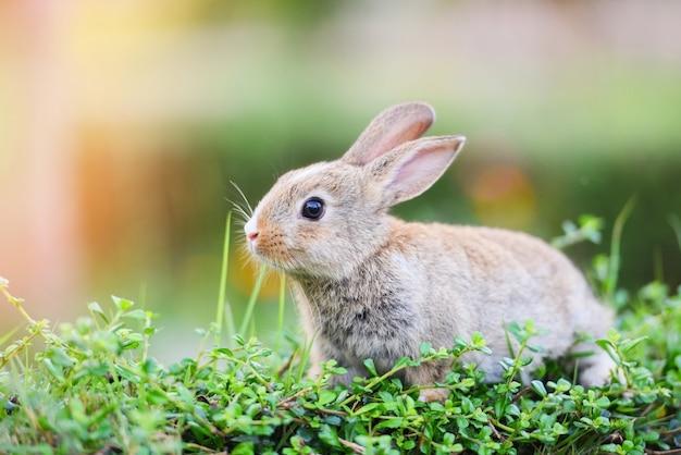 O coelho marrom na grama verde. conceito de páscoa coelho