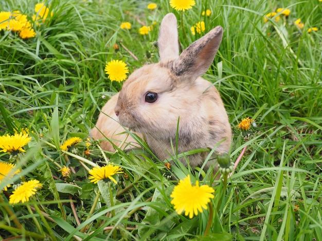 O coelho vermelho com pontos cinzentos senta-se em um esclarecimento com dentes-de-leão.