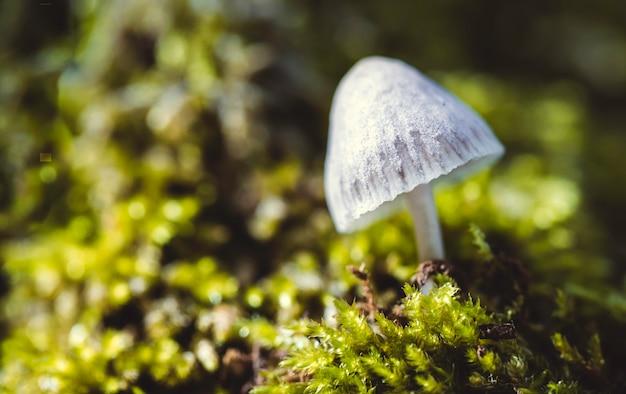 O cogumelo mágico ou cap liberdade (psilocybe semilanceata)