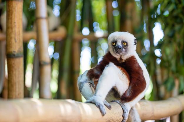 O coquerel sifaka em seu ambiente natural em um parque nacional na ilha de madagascar.