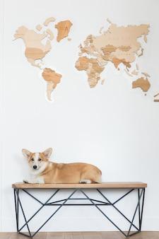 O corgi sério de galês do cão senta-se com um mapa de madeira. bichinho de estimação quer viajar e esperar por aventuras.