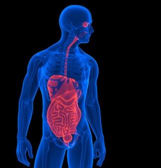 O corpo humano. 3d rendem do órgãos internos humanos. contém o traçado de recorte