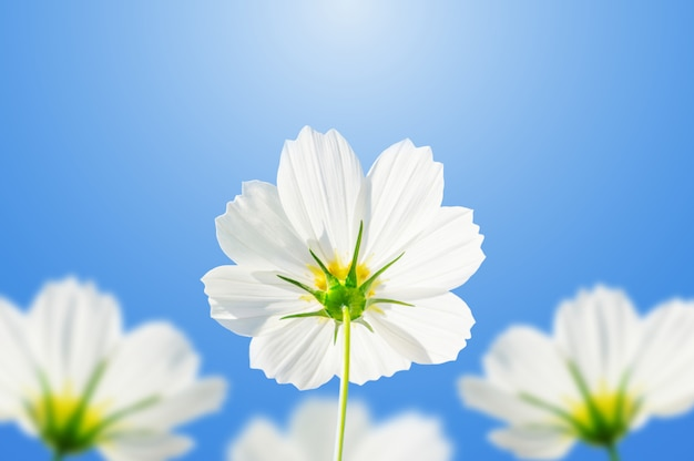O cosmos branco floresce em um fundo do céu azul.