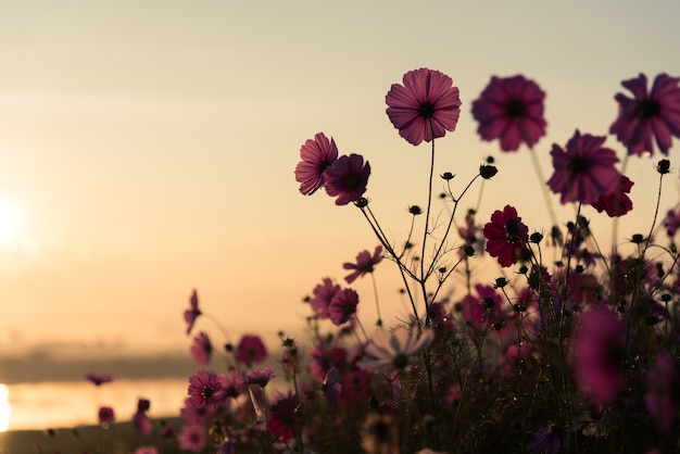 O cosmos flor de pastagem no parque