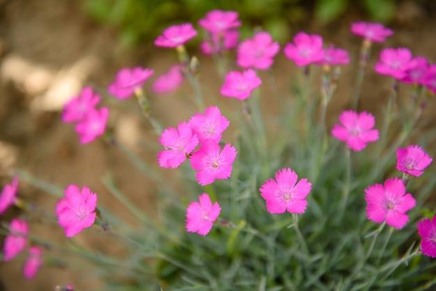 O cravo-da-índia cor-de-rosa da donzela-de-rosa deltoides deixa a flor em um pequeno jardim floral