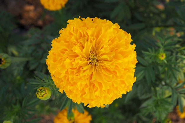 O cravo-de-defunto amarelo floresce com as folhas verdes no prado no jardim para o fundo. vista do topo