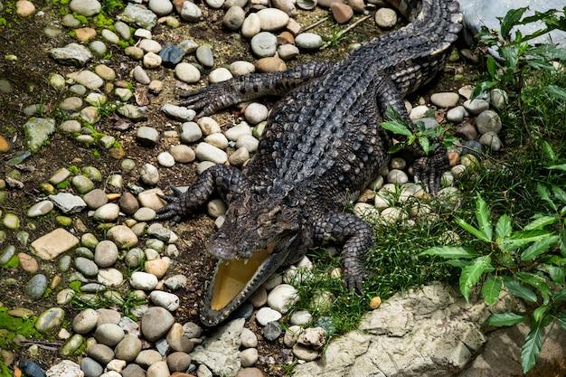 O crocodilo está abrindo a boca na fazenda de crocodilos no zoológico da tailândia.