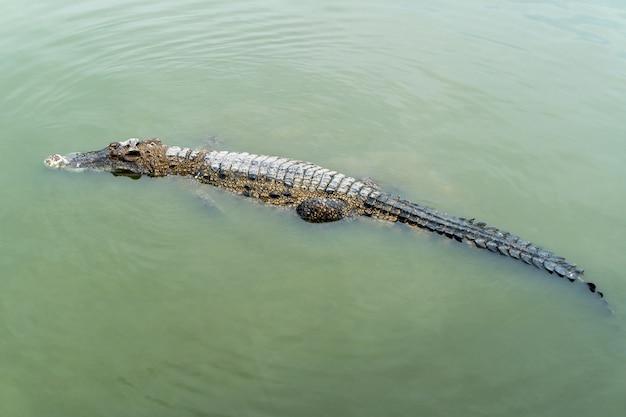 O crocodilo flutua sobre a água é carnívoro e feroz