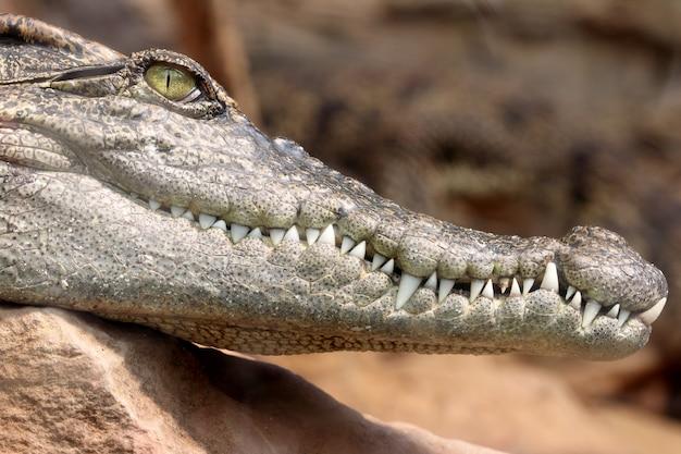 O crocodilo hesd disparou, dentes.