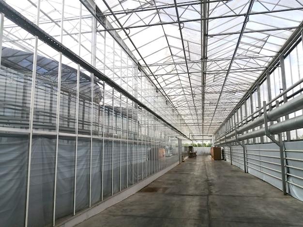 O cultivo de tomates em uma estufa hidropônica com luz natural. folhas verdes de tomate com frutos em crescimento