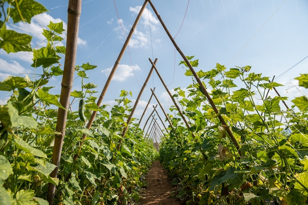 O cultivo dos pepinos no terreno aberto em tailândia.
