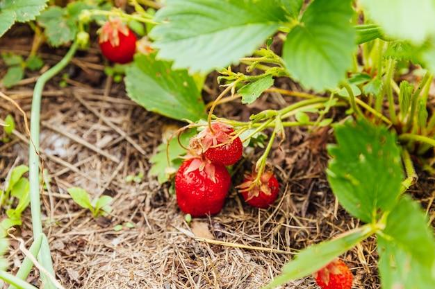 O cultivo industrial de morangos planta arbusto com frutos vermelhos maduros morango no jardim de verão cultivo natural de frutas na fazenda