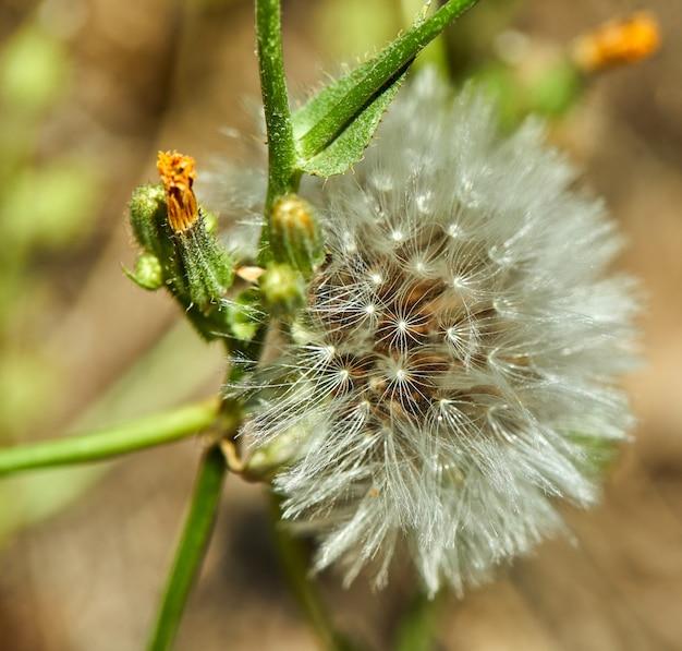 O dente-de-leão florescido na natureza cresce da grama verde.