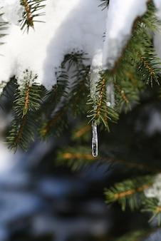 O derretimento da neve na primavera forma um pingente de gelo em uma árvore conífera.