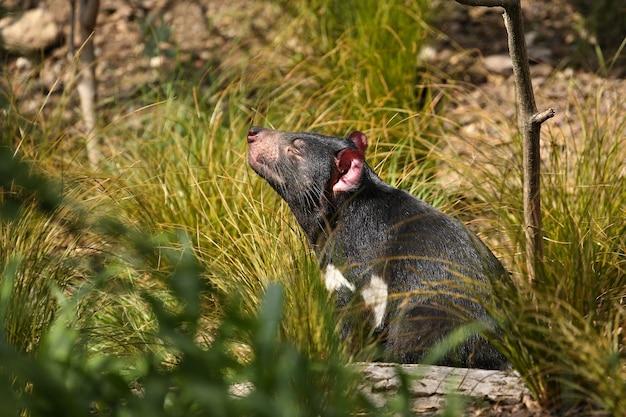 O diabo da tasmânia posa em uma bela luz