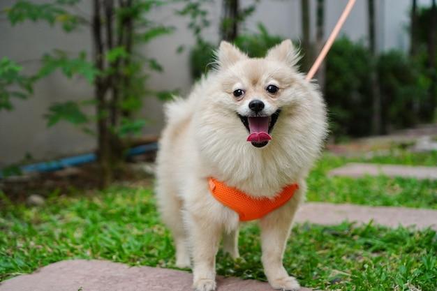 O dono do animal caminha com uma raça de cachorro pequeno ou pomerânia