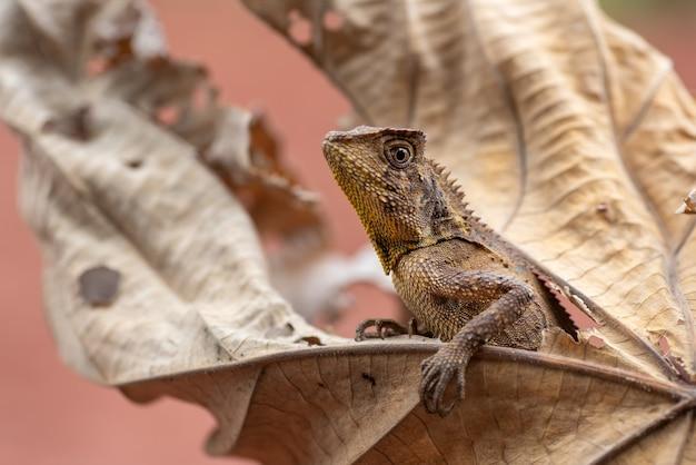 O dragão camaleão da floresta se esconde em folhas secas