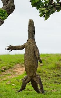 O dragão de komodo está de pé nas patas traseiras. indonésia. parque nacional de komodo.