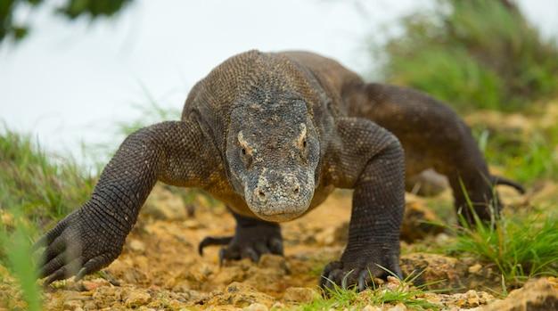 O dragão de komodo está no chão.