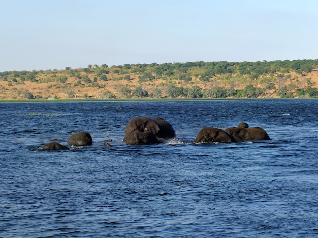 O elefante nada no rio zambeze, botsuana, áfricazambeze rio, botsuana, áfrica