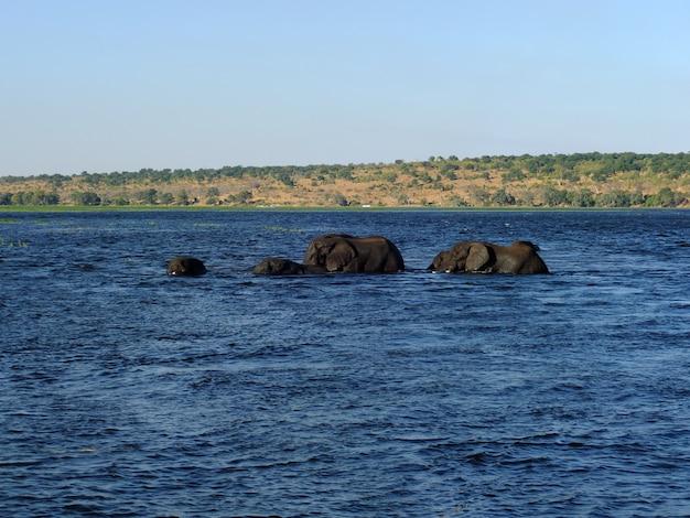 O elefante nada no rio zambeze, botswana, áfrica rio zambeze, botswana, áfrica