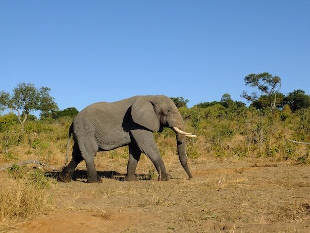 O elefante no parque nacional de chobe, botswana, áfrica