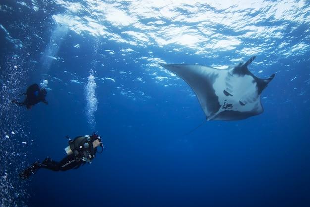 O elegante manta ray flutua sob a água.