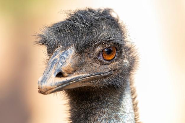 O emu é o segundo maior pássaro vivo em altura, depois de seu parente ratite, o avestruz.