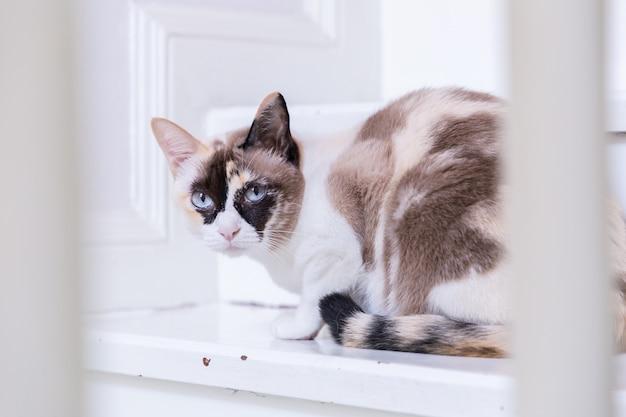 O encontro eyed azul do gato tailandês em escadas da casa olha a câmera.