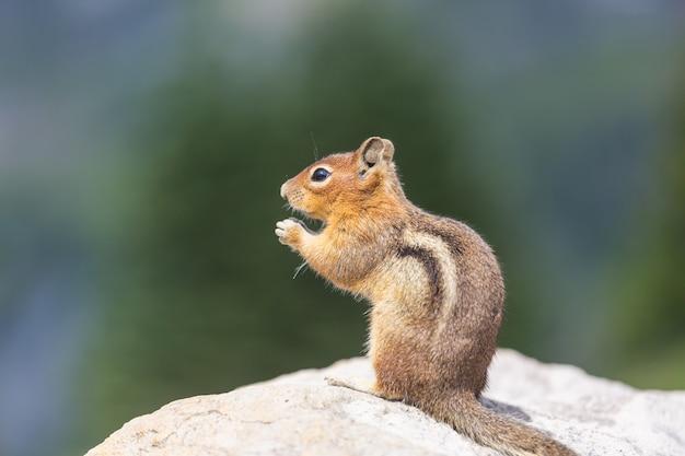 O esquilo americano come de mão