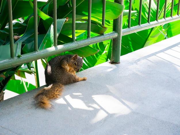 O esquilo bonito lava no parque.
