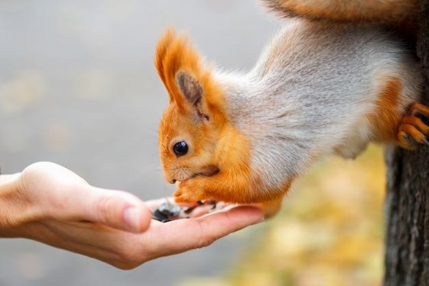 O esquilo come da madeira na floresta.