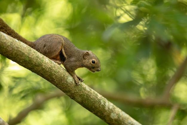 O esquilo de bananeira, callosciurus notatus, sentado em um galho com fundo natural verde. sungei buloh, singapura.